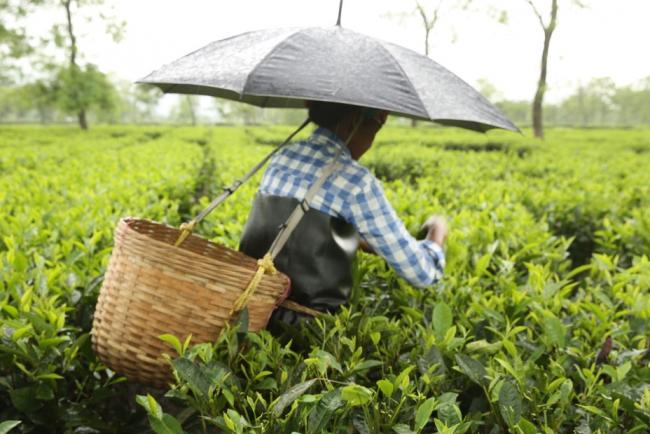 A woman picking tea in Assam, India